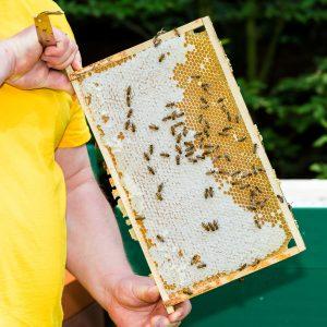 Imker prsentiert eine gut mit Honig gefllte Honigwabe aus dem Bienenstock