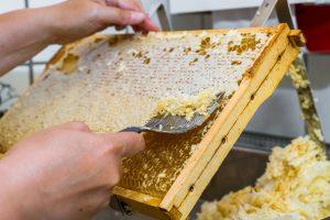 Eine prall mit Honig gefllte Wabe wird geffnet und entdeckelt