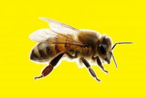 Der Biene zuliebe